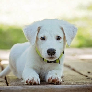 small white puppy