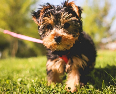 small brown and black fluffy dog