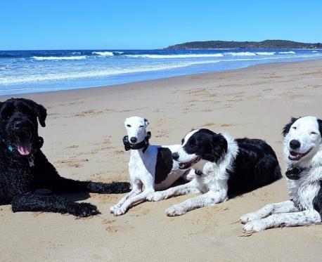 https://www.visiondogtraining.com.au/wp-content/uploads/Moose-CC-Sassy-nice-beach-pic-2-1-458x373.jpg