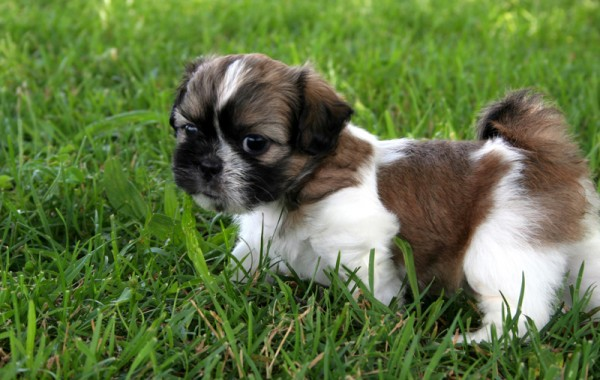 tiny brown and white dog